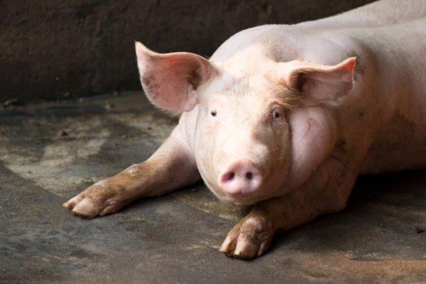 Породы свиней мясного направления
