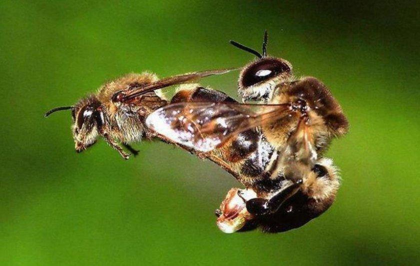 Спаривание пчел