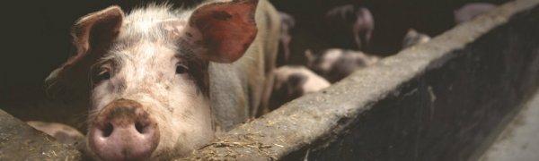 Поилки для свиней: как сделать и установить своими руками, пошаговая инструкция, фото || Ниппельные поилки для свиней