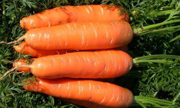 Морковь короткая и толстая сорта