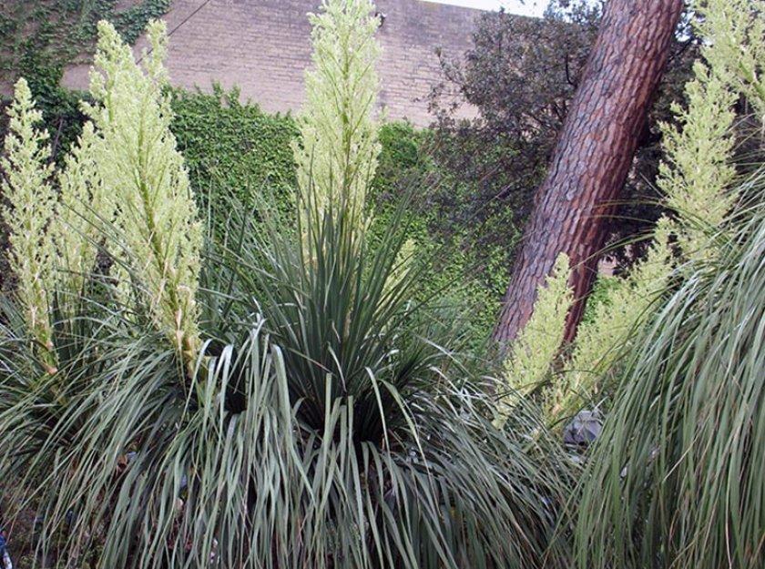 B. longifolia (длиннолистая)