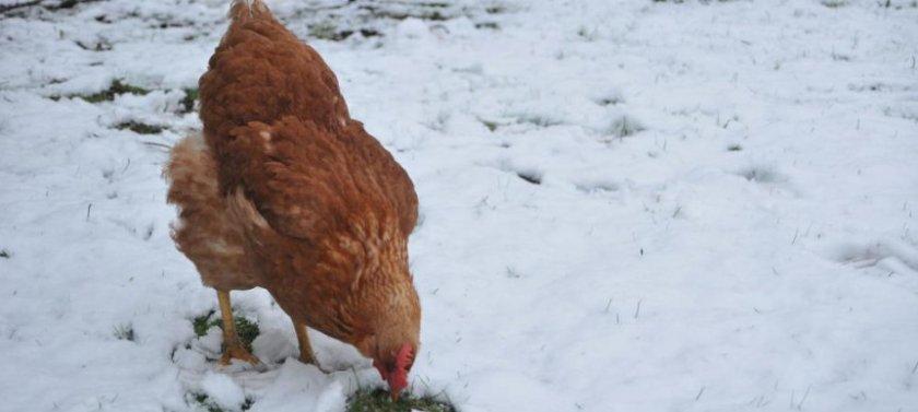 Курица зимой