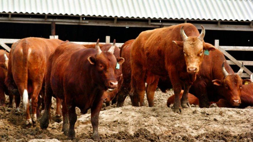 Коровы калмыцкой породы
