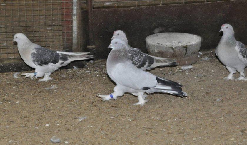 Лекарства для голубей