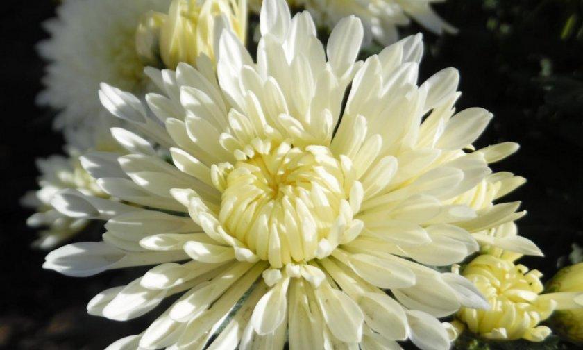 Хризантема Корейка белая