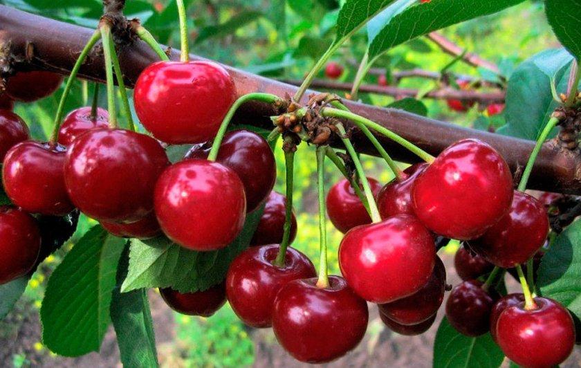 Гибрид черешни и вишни