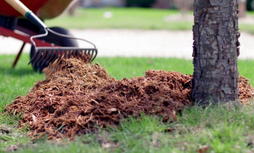 Мульчирование дерева гибрида