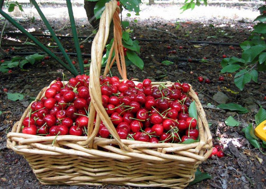 Сбор плодов гибрида черешни и вишни