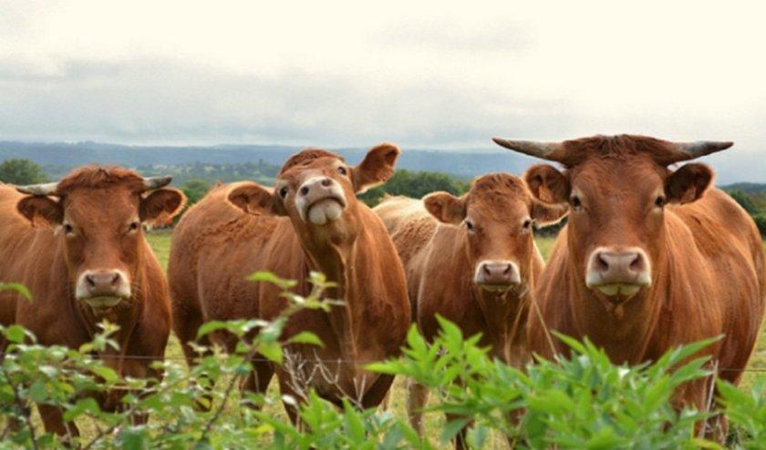 Корова породы Лимузин