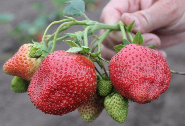Выращивание садовой земляники посадка и правильный уход сорт елизавета