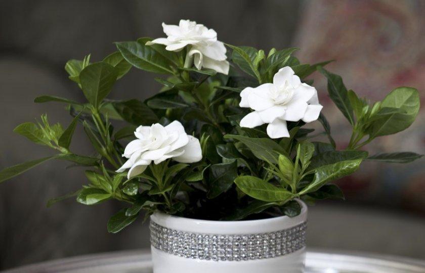 Цветки жасминовой гардении