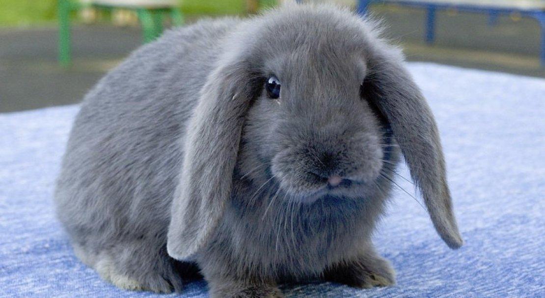 кролик декоративный вислоухий фото целеустремленной