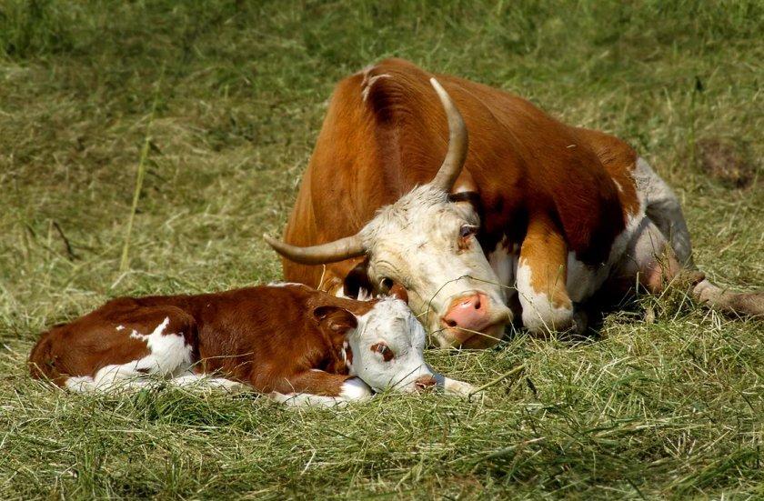 картинки домашних животных коров много
