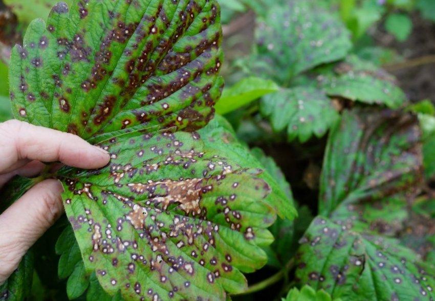 Бурая пятнистость на листьях клубники