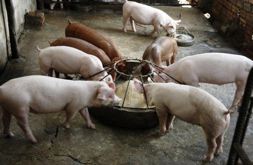 Питание свиней