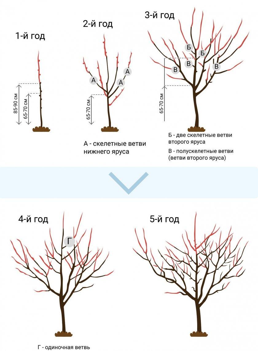 Схема формирования абрикоса