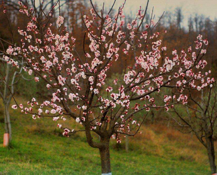 Сформированное абрикосовое дерево