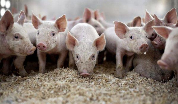 Сколько комбикорма нужно свинье в день
