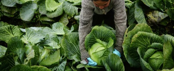 Когда убирают капусту с огорода в Подмосковье: сроки сбора в разных регионах, особенности уборки на зиму, пошаговая инструкция
