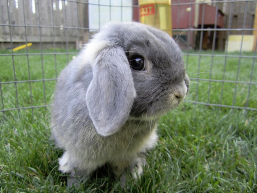 Особенности содержания кролика