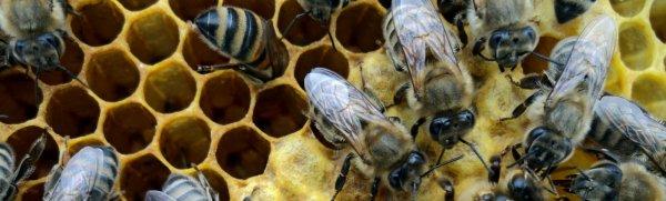 Порода пчел Карпатка: характеристики, отзывы