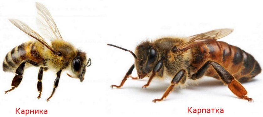 Пчёлы карника и карпатка