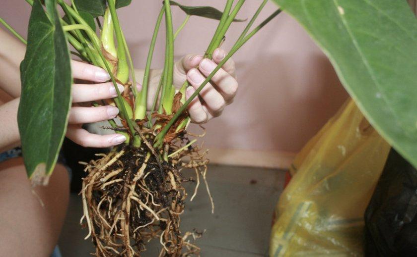 Корни комнатного растения