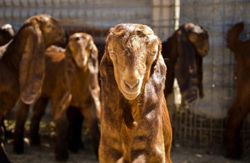Дамасская коза