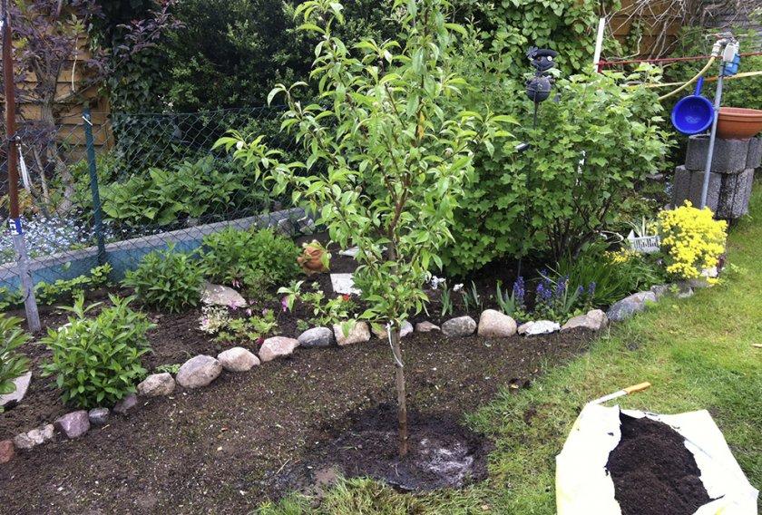 Посаженное персиковое деревце на участке