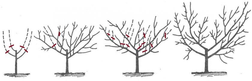 Схема формировки чашевидной кроны