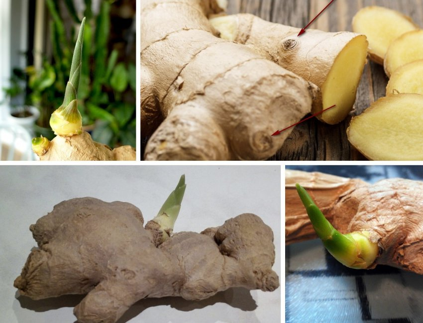Как может прорасти корень имбиря