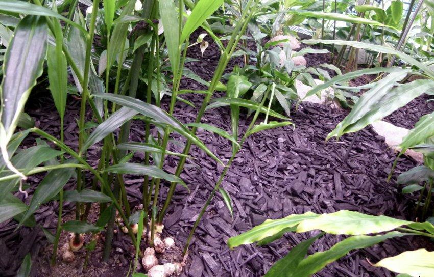 Выращивание имбиря в теплице