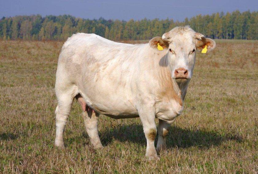 Корова породы Шароле
