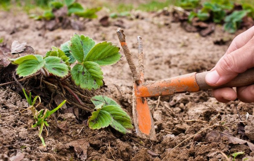 Рыхление почвы клубники