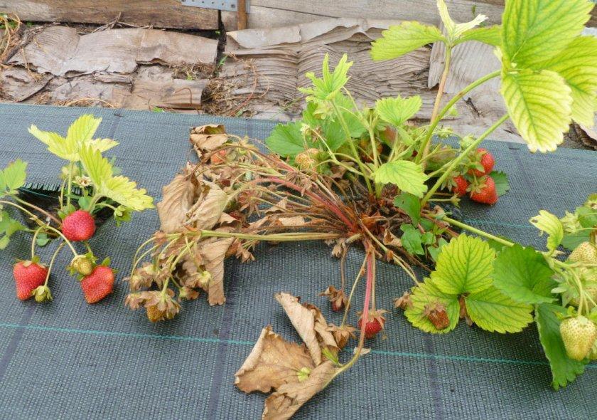 Сохнет клубника в период плодоношения