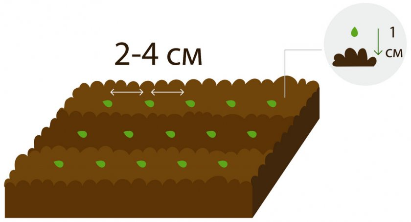 Схема посева семян клубники