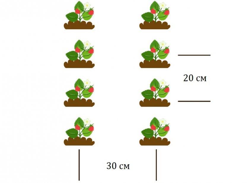 Схема расположения кустов клубники