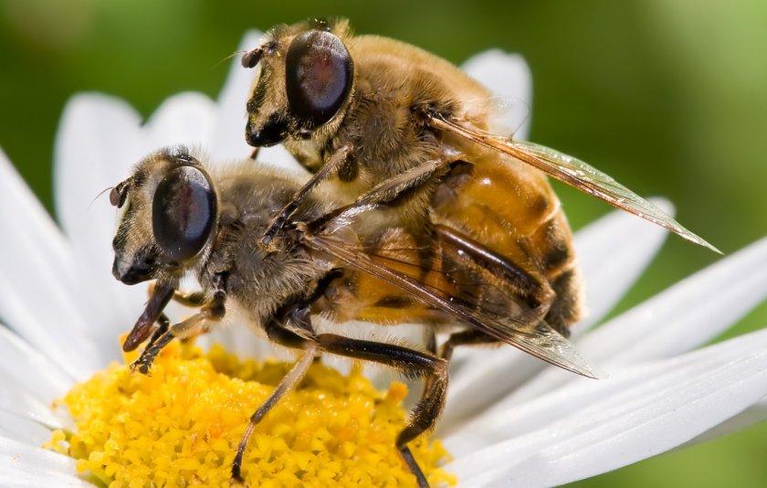 Спаривание пчёл