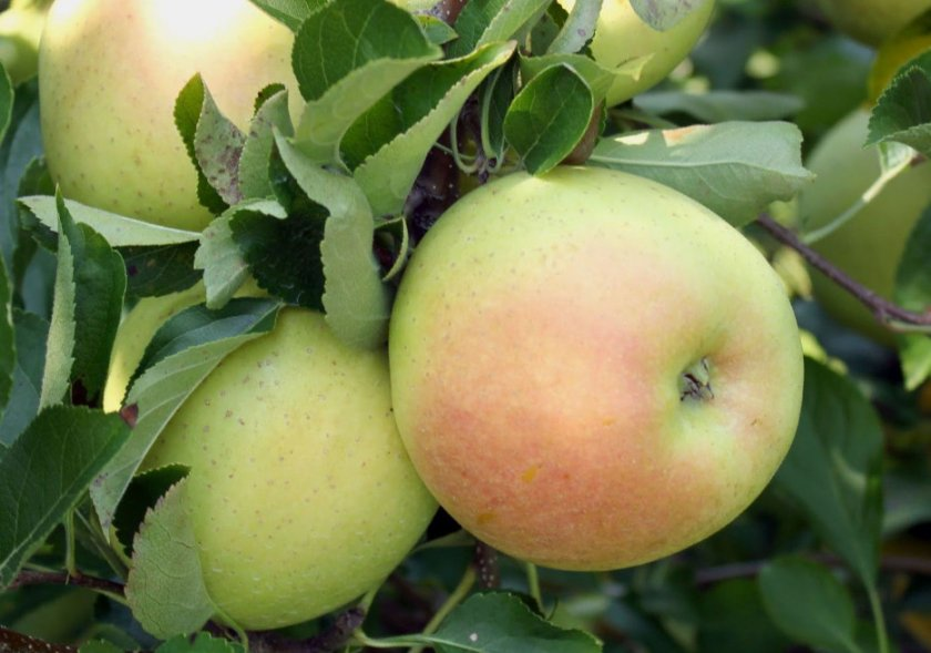 Яблоки сорта Снежный кальвиль