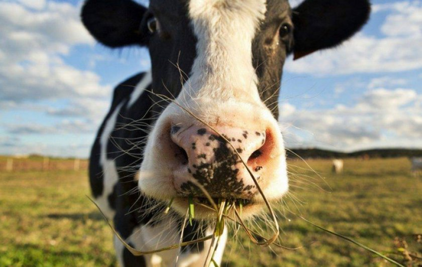 Корм для коров
