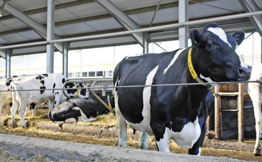Ацидоз у коров: симптомы и лечение, ацидоз крс (фото и видео)