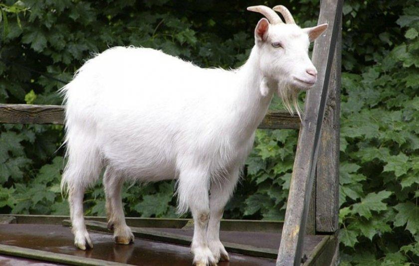 Горьковские козы