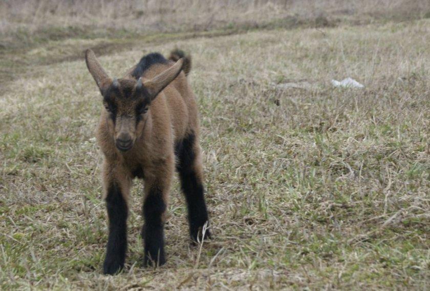 Пёстрая немецкая коза