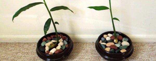 Как садить имбирь в домашних условиях
