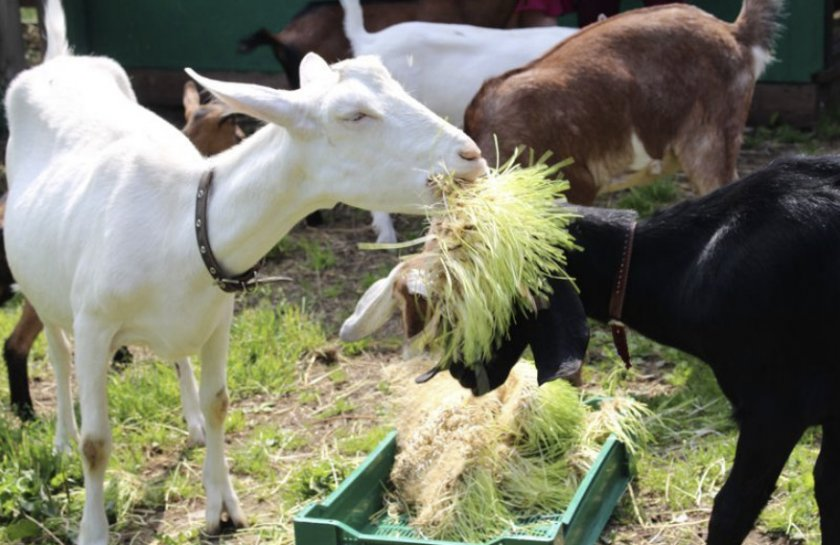 Питание коз летом