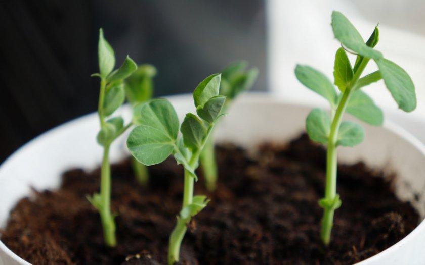 Выращивание нута на подоконнике