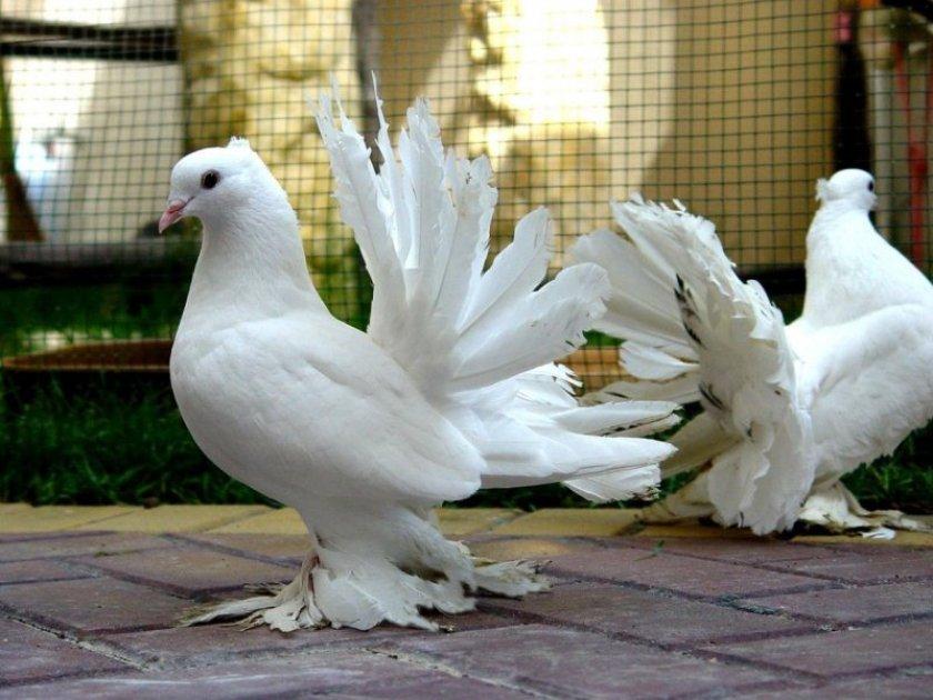 Луганские голуби