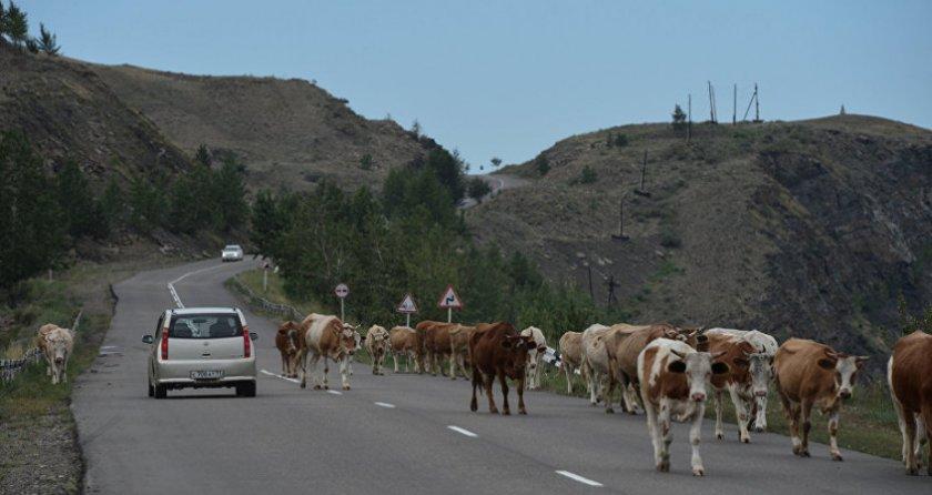 Перегон коров