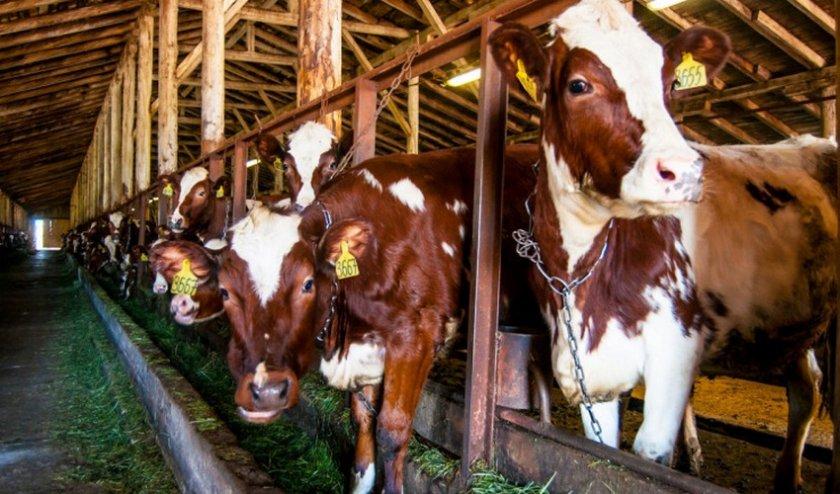Стойло для коровы
