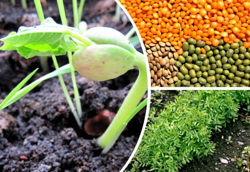Выращивание чечевицы в домашних условиях